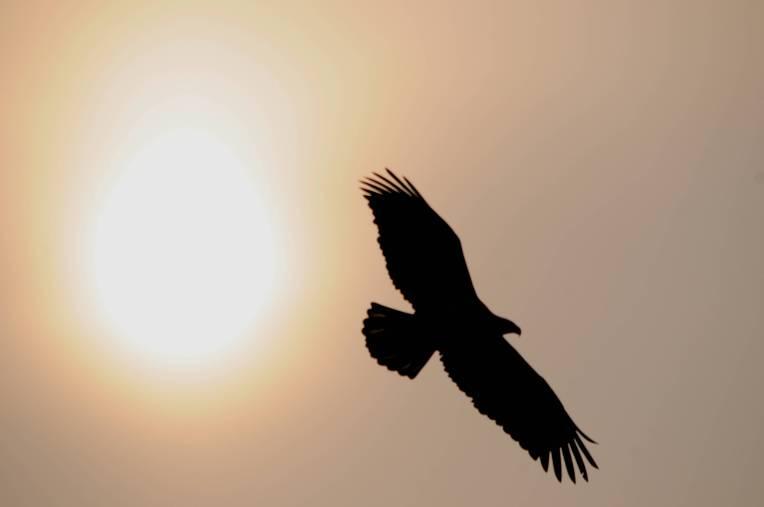eagle-silhouette
